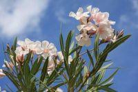 Instructies - behouden Oleander goed