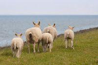 Timmy naai de schapen als een knuffel zelf - Instructies