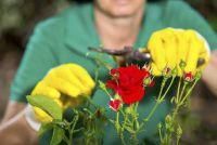 Rose Care in de herfst