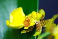 De orchidee is het verliezen van alle bloemen - je kunt doen