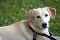 Labrador mix puppy - houding en handling