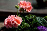 Balkon planten schaduw - deze planten zijn geschikt voor locaties met slechte verlichting