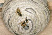 Verwijder wespennest: Wie betaalt?  - Op de vraag van de kosten te verduidelijken
