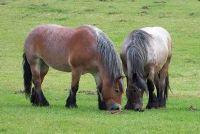 Hoeveel weegt paarden?