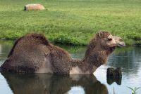 Kan kamelen zwemmen?