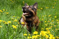 Hond eet paardebloemen - dus je wennen aan het van hem