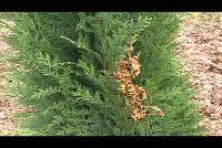 Coniferen zijn bruin - wat te doen?