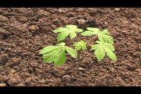 Chestnut planten - Instructies
