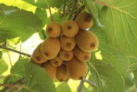Kiwi planten - teelt en zorg in uw eigen tuin