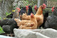 Bielefeld karakteristieke chicken Kopen - Wat u moet dit overwegen