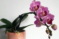 Hoeveel water doen orchideeën?  - Om goed pour