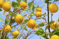 Lemon tree verliest vruchten - mogelijke oorzaken