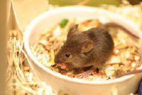 Wat eten muizen gelukkig?  - Een goede voeding en verzorging van de kleintjes