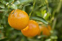 Schaal insecten op citrus planten