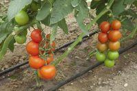 Tomatenplanten ausgeizen - voors en tegens