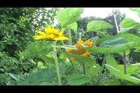 Planten Zonnebloem