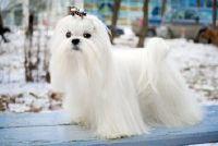 Nam de twee kleine honden onder de microscoop - Shih Tzu en de Maltese