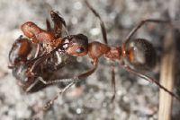 Hoe zwaar is een mier?