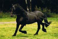 """Friese paarden - Lees meer over de """"zwarte parel"""""""
