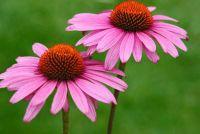 Echinacea - teelt van Echinacea planten