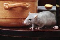 Ratten en hun gedrag - moet weten over voedingsgedrag