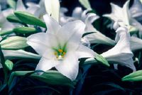 Lily als symbool