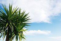 Yucca Gloriosa - zodat u deze Yucca behouden