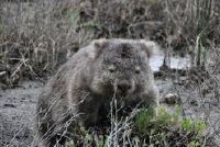 Wombat als huisdier?  - Meer informatie over de schattige Australiërs Ontdek