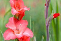 Multiply gladiolen