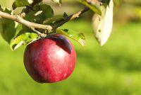 Apple boom in de herfst - Mededelingen