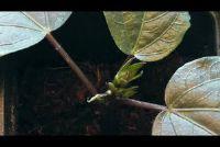 Multiply Hibiscus