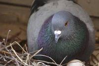 Zoals ik duiven te verkopen zonder nadelige gevolgen voor de dieren?