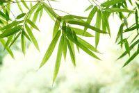 Hoe om bamboe te behouden?