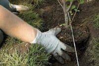 Verplanten bomen - die u moet zich bewust zijn