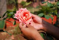 Cut rose boom goed - dus je groei te bevorderen