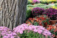 Chrysanten - de zorg voor de bloemen pracht