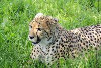 Het verschil tussen de cheetah en luipaard