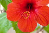 Hibiscus: snijden haag - die u moet overwegen bij het snoeien