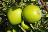 Groene appel - de low-calorie afslankproducten
