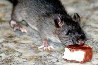 Ratten in het toilet - die je kunt doen