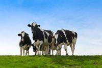 Legt lichaamsbouw en organen van de koe levendig