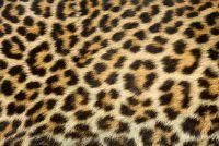 Leopard Kijk kreiieren op de muur - hoe het werkt
