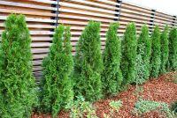 Bevruchten en cultiveren Thuja Hedge
