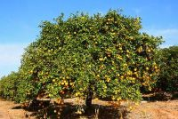 Als je plant fruitbomen?