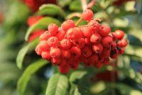 Rowan berry likeur - een recept