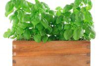 Basil heeft bruine bladeren
