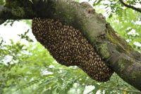 Verwijder bijenkorf in de tuin - Wat u moet dit overwegen