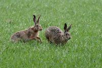 Hare soorten - ze verschillen konijntje, knaagdieren en konijnen