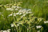 Water Hemlock - Feiten over de plant