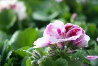 Geraniums en Eisheilige - die u moet overwegen bij het planten